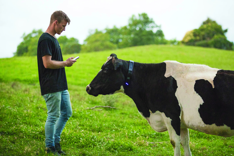 Halter Cow